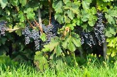 Vignoble de Piémont Photo stock