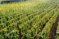 Vignoble de pinot noir à Beaune, Bourgogne, France Photos stock
