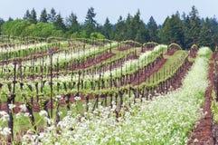 Vignoble de raisin dans l'état de l'Orégon avec les fleurs blanches dans les rangées Image stock