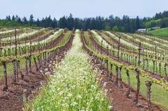 Vignoble de raisin dans l'état de l'Orégon avec les fleurs blanches en rangées et ciel bleu Photo stock