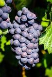 Vignoble de raisins de cuve au coucher du soleil, automne dans les Frances Photos stock