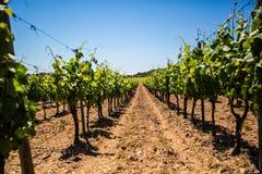 Vignoble de vigne de vinification dans des Frances du sud ensoleillées avec le sol de gravier Image libre de droits