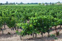 Vignoble des raisins de bue Photo stock