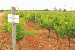 Vignoble des raisins de Mantonegro Photo libre de droits