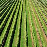 Vignoble du Nouvelle-Zélande Photo libre de droits