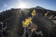 Vignoble en île de Lanzarote, s'élevant sur le sol volcanique Photos stock