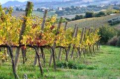 Vignoble en automne Images libres de droits