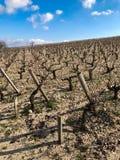 Vignoble en Bordeaux pendant l'hiver Image libre de droits