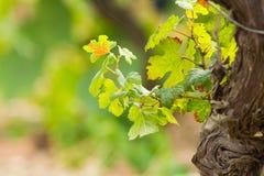 Vignoble en Domaine de Maguelone près de Montpellier, Frances du sud, images stock
