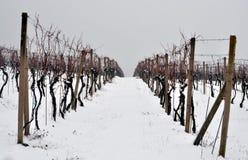 Vignoble en hiver Image libre de droits