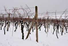 Vignoble en hiver Images libres de droits