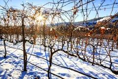 Vignoble en hiver Photo stock