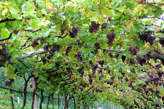 Vignoble en Lana, Italie Photo stock