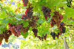 Vignoble en Lana, Italie Photographie stock libre de droits