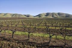 Vignoble en Santa Maria California Image libre de droits