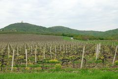 Vignoble et collines vertes Images stock