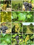 Vignoble, fond Photos stock