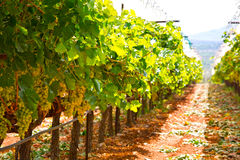 Vignoble grec Photographie stock