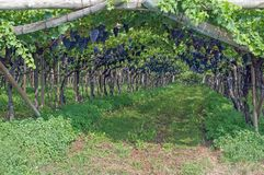 Vignoble, itinéraire tyrolien du sud de vin, Italie Photo stock