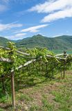 Vignoble, itinéraire tyrolien du sud de vin, Italie Image stock