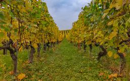 Vignoble multicolore à l'automne 10 Photo stock