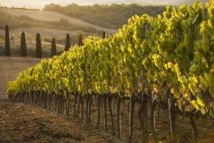 Vignoble parmi des collines Photo stock