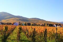 Vignoble pendant l'automne Photographie stock