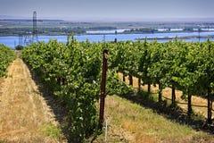 Vignoble près des rivages du fleuve Columbia Photographie stock libre de droits