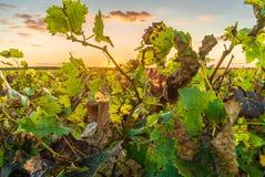 Vignoble rétro-éclairé au coucher du soleil Image stock