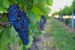 Vignoble, raisins, élevage des raisins, la Moravie du sud, République Tchèque Image libre de droits