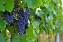 Vignoble, raisins, élevage des raisins, la Moravie du sud, République Tchèque Images stock