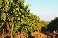 Vignoble, raisins, élevage des raisins, la Moravie du sud, République Tchèque Image stock