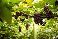 Vignoble - Rose Grapes photographie stock libre de droits