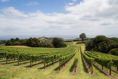 Vignoble sur l'île de Waiheke Photographie stock