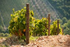 Vignoble sur la montagne Photographie stock libre de droits