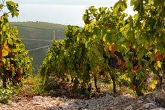 Vignoble sur la montagne Photos stock