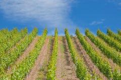 Vignoble sur la Moselle dans la vallée de la Moselle Image stock
