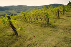 Vignoble vert dans le chianti image stock