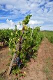 Vignoble vert dans le chianti images libres de droits