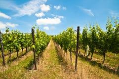 Vignoble vert et ciel bleu vus de dessous Images libres de droits