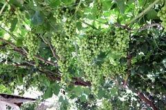 vignoble vert non mûr photographie stock libre de droits