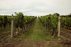 Vignoble vert - paysage, paysage Photos libres de droits
