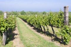 Vignobles. Photos libres de droits