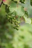 Vignobles au coucher du soleil dans la récolte d'automne Photographie stock
