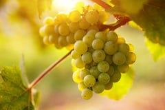 Vignobles au coucher du soleil en automne image libre de droits