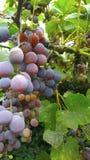 Vignobles avec de grands groupes de raisins et de feuillage photo stock