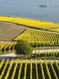 Vignobles d'automne le long du Rhin Image libre de droits