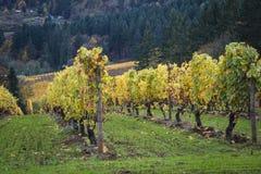 Vignobles d'automne, vallée de Willamette, Orégon image stock