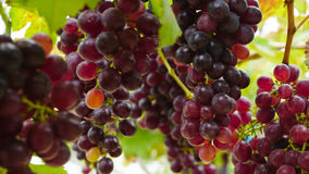 Vignobles dans la récolte Photo libre de droits