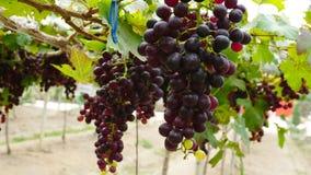 Vignobles dans la récolte Image stock
